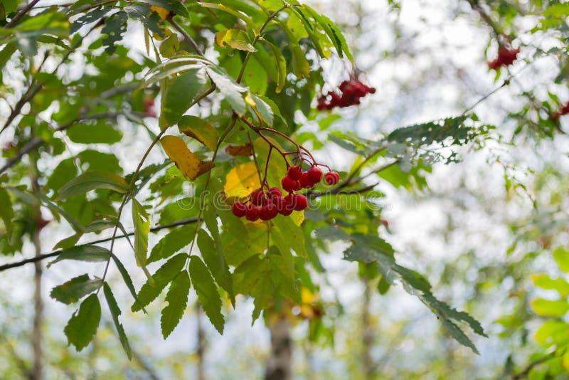 Branche rouge de sorbe dans la forêt d'automne photographie stock libre de droits