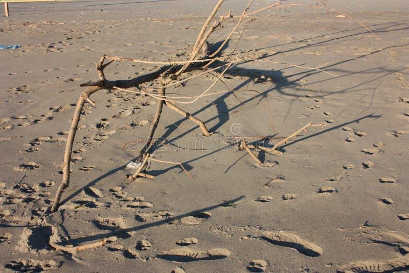 Branche sèche de Brown arbuste apporté sur la plage sablonneuse par le courant de mer orageux photographie stock libre de droits
