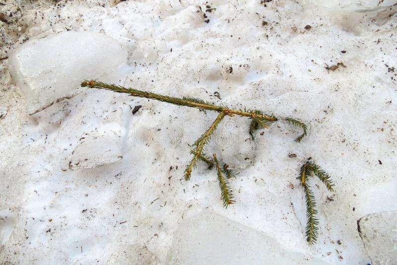 Branche sèche de l'arbre de Noël dans la neige de dégel sale de ressort photographie stock libre de droits