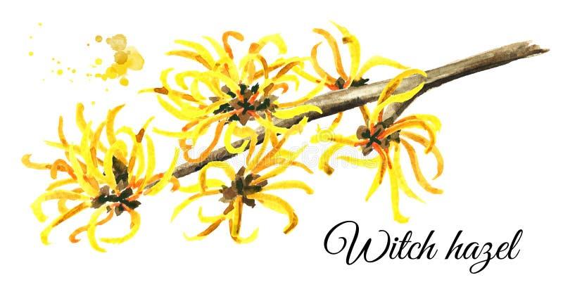 Branche se développante d'une noisette de sorcière, Hamamelis de plante médicinale Illustration tirée par la main d'aquarelle, d' illustration stock