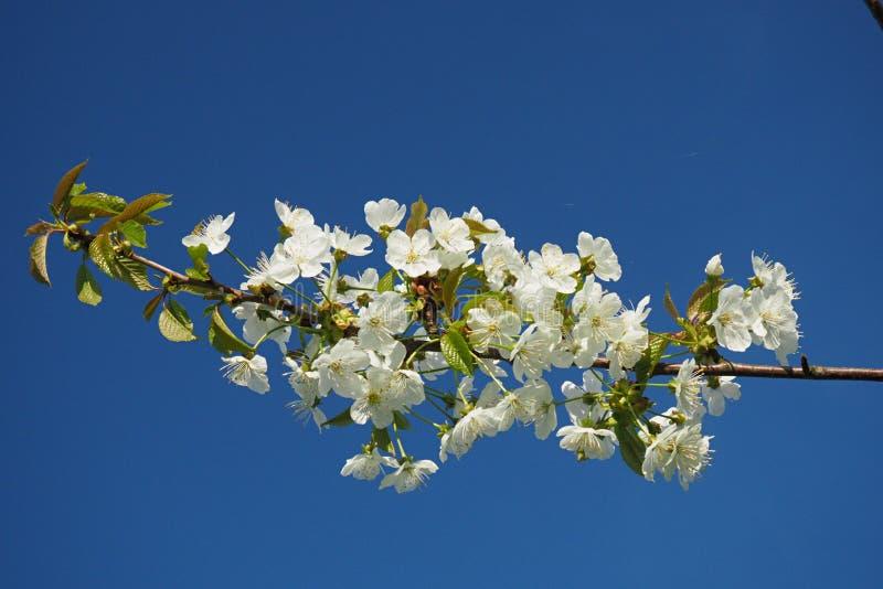 Branche simple d'une cerise de floraison contre un ciel bleu photographie stock