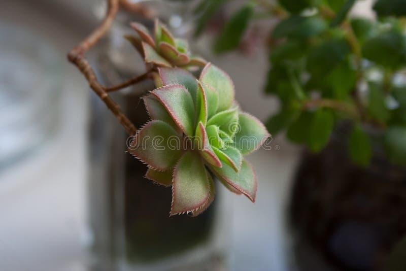 Branche succulente d'usine de kiwi d'Aeonium image libre de droits