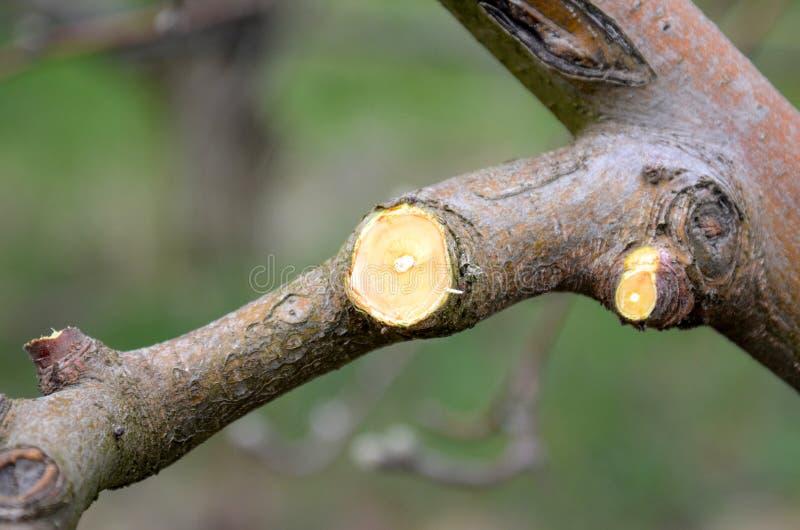 Branche taillée fraîche de pomme au printemps photo stock