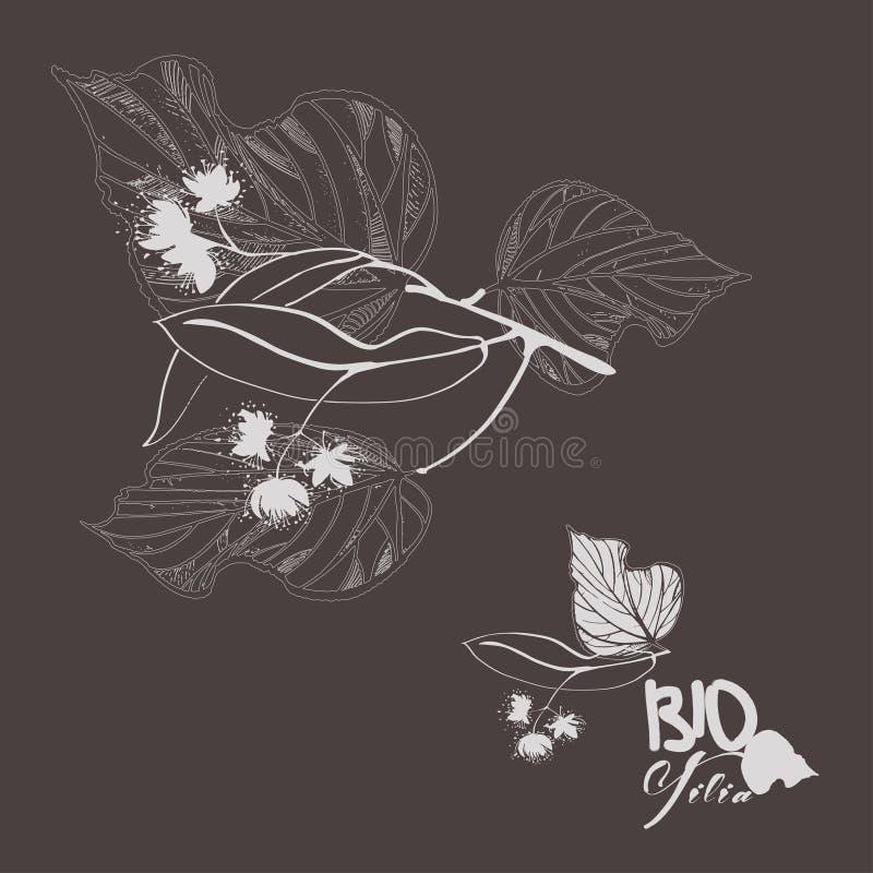 Branche tir?e par la main de tilleul avec des feuilles et des fleurs illustration libre de droits