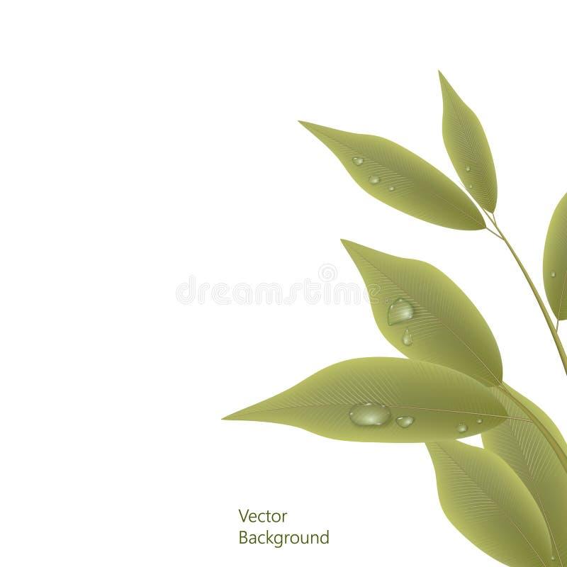 Branche verte avec des feuilles et des baisses de l'eau d'isolement sur le fond blanc Illustration de vecteur illustration de vecteur