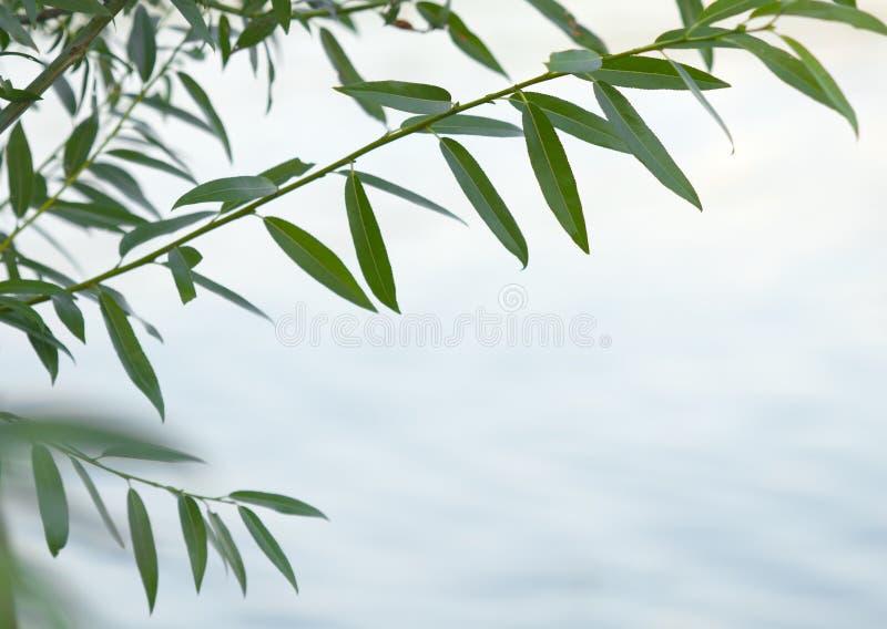 Branche verte de saule photo libre de droits