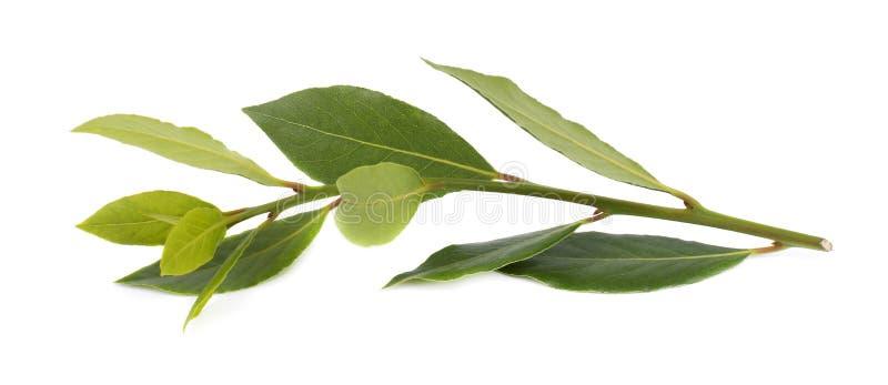 Branche verte fraîche de feuille de laurier d'isolement sur le fond blanc Laurus d'isolement photo libre de droits