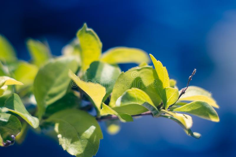 Branche verte sur le soleil sur un fond bleu Le concept du temps beau, grande humeur Fond artistique Foyer mou, choisi photo stock