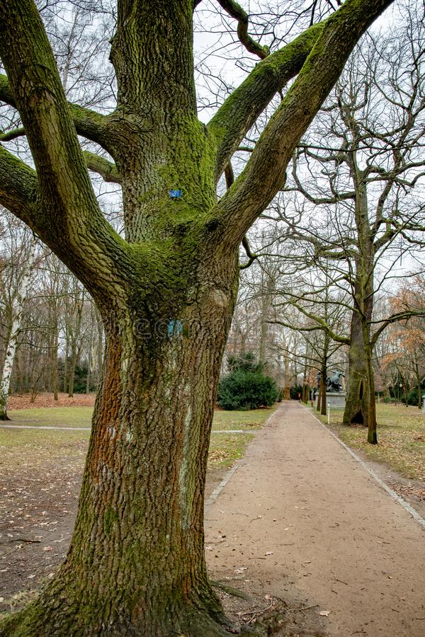 Branched trunk of huge tree growing near footpath in Tiergarten park of Berlin Germany. Tree trunk covered with green moss. Tranquil landscape with nobody in royalty free stock photo