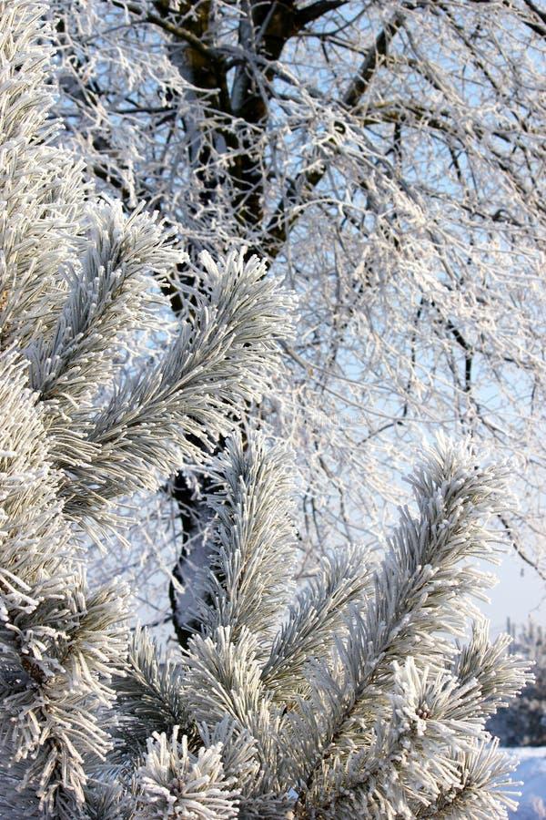 Branchement couvert de neige Branche d'arbre gelée dans la forêt d'hiver images libres de droits