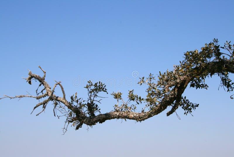 Branchement d'arbre photos libres de droits
