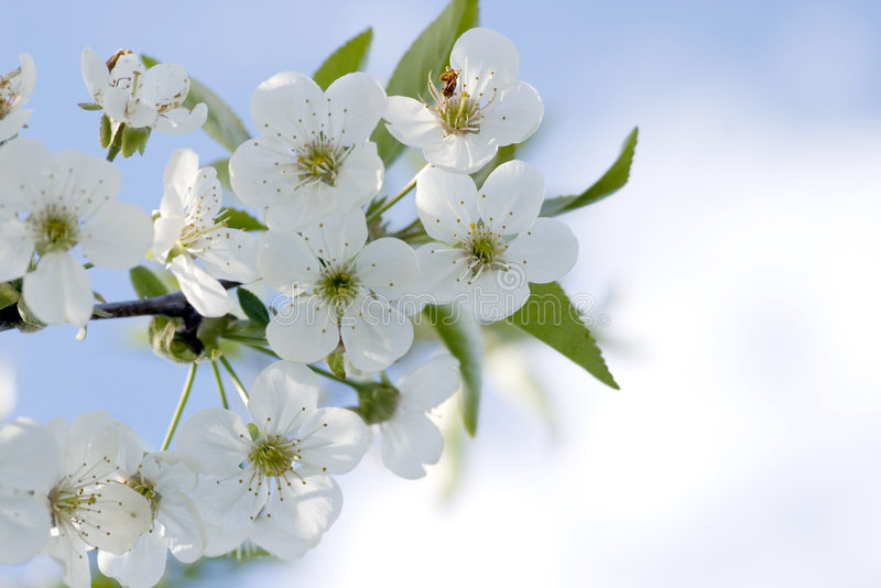 Branchement d'arbre avec des fleurs de cerise   photographie stock