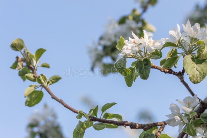 Branchement d'arbre de floraison photographie stock