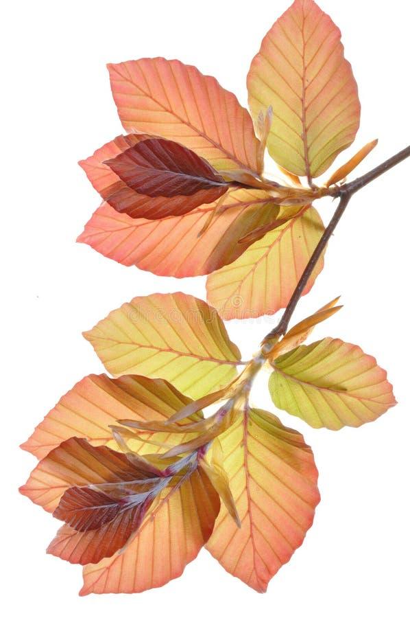Branchement d'arbre de hêtre photo libre de droits