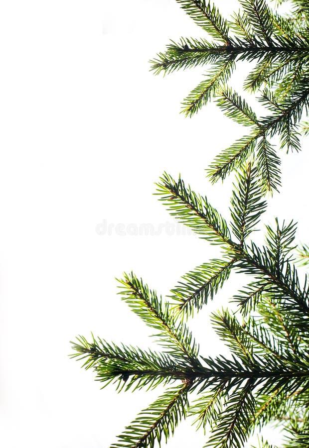 branchement d 39 arbre de sapin sur un fond blanc fin vers le haut d cor de no l image stock. Black Bedroom Furniture Sets. Home Design Ideas