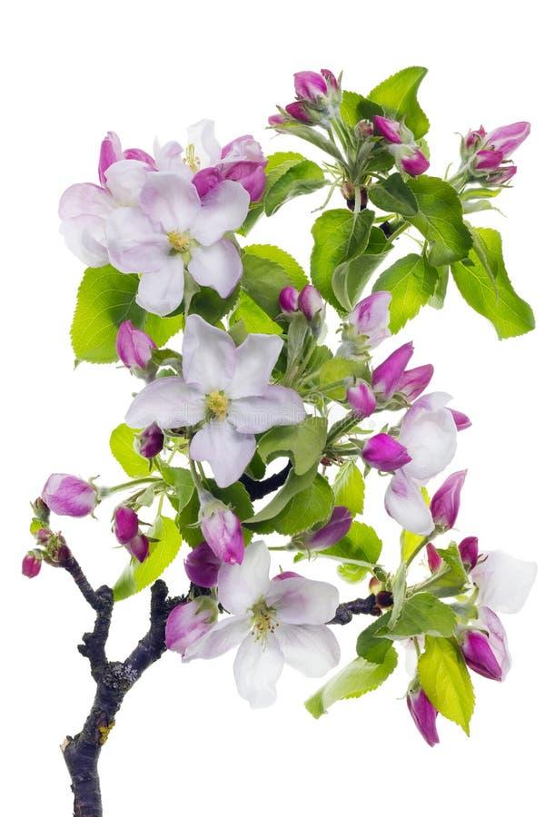 Branchement d'arbre rose de fleur image stock