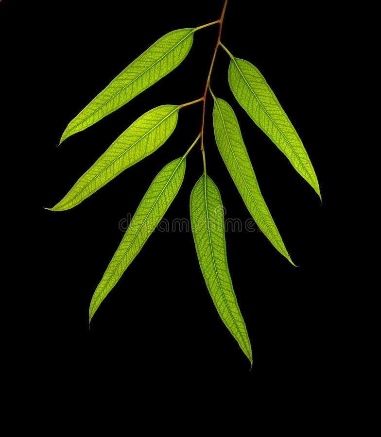 Branchement d'eucalyptus photo libre de droits