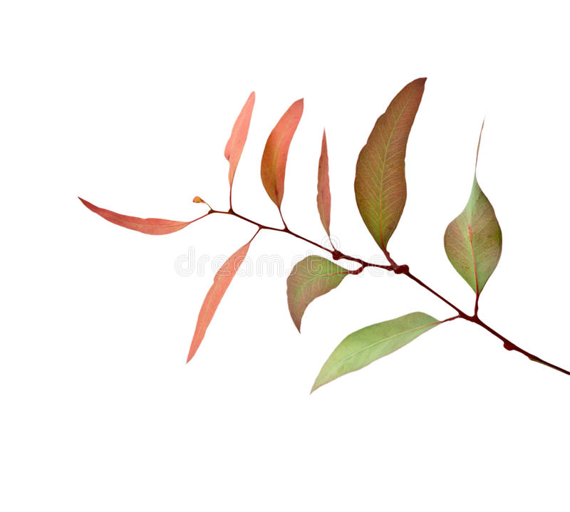 Branchement d'eucalyptus photo stock