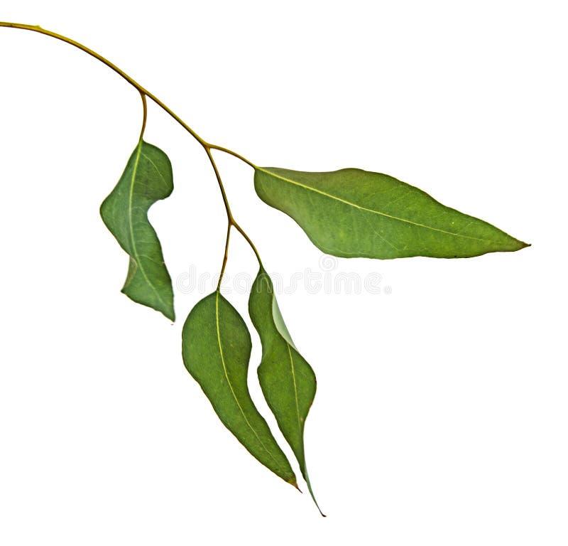 Branchement d'eucalyptus d'isolement sur le blanc photos libres de droits