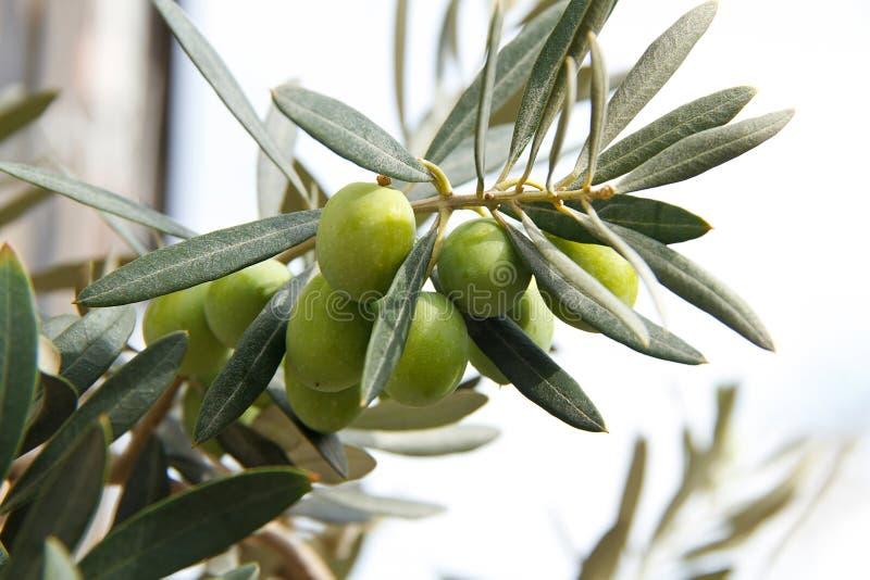 Branchement d'olives vertes photos libres de droits
