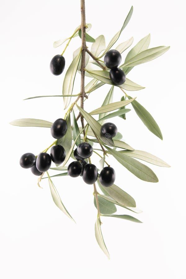 Branchement d'olivier photos stock