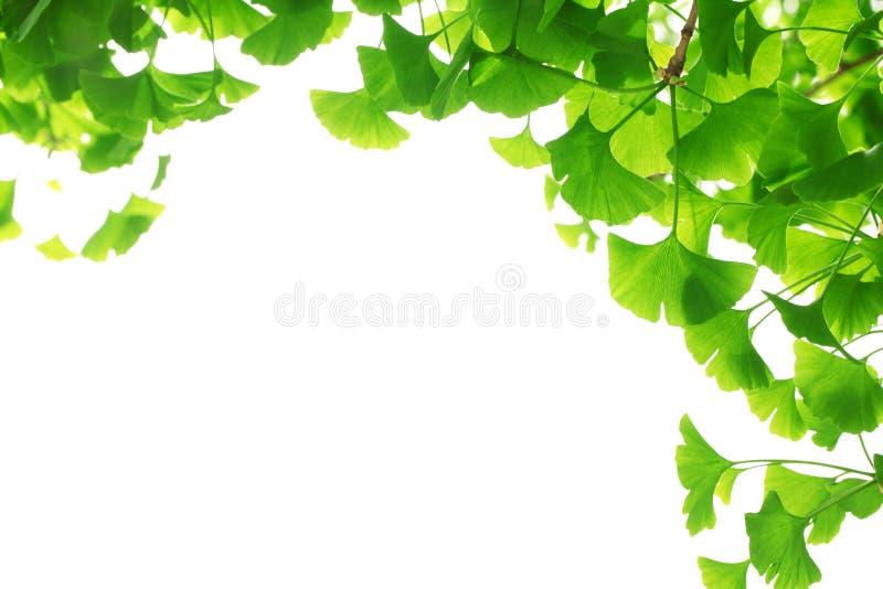 Branchement de biloba de Ginkgo avec de jeunes lames images libres de droits