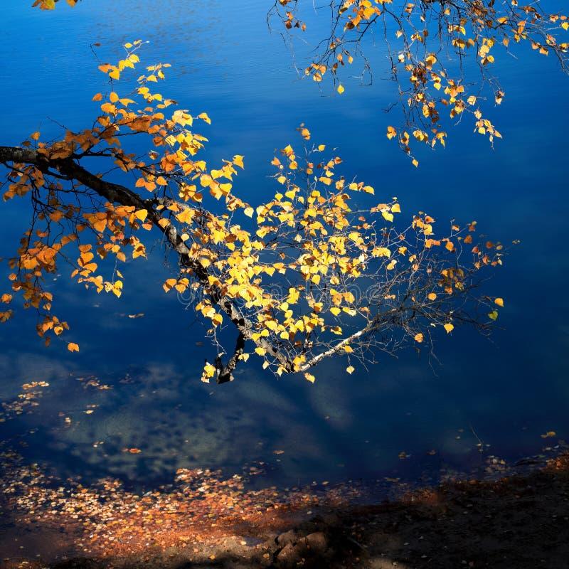 Branchement de bouleau en automne photographie stock libre de droits