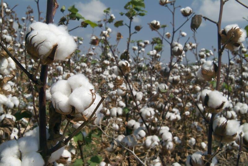 Branchement de coton photo libre de droits