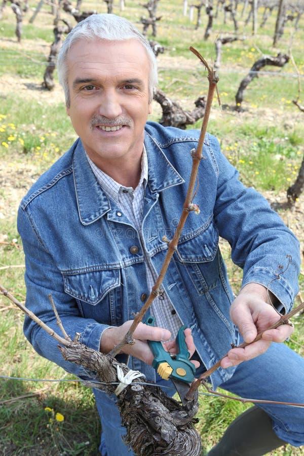 Branchement de découpage de Winemaker dans la ligne de vigne photographie stock libre de droits