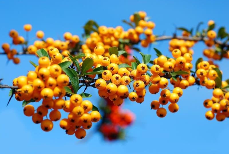 Branchement de des baies jaunes de firethorn image libre de droits