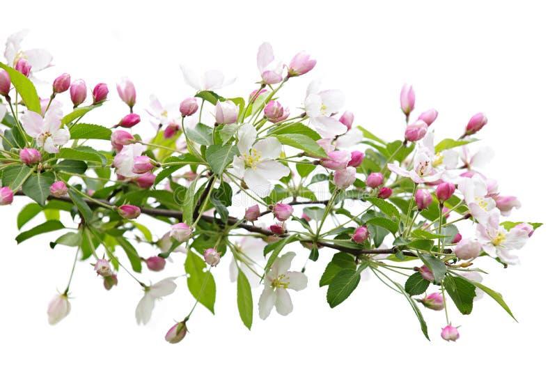 Branchement de floraison de pommier photos stock