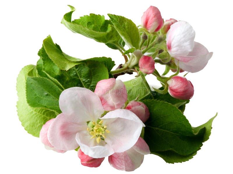 Branchement de floraison de pommier photographie stock libre de droits