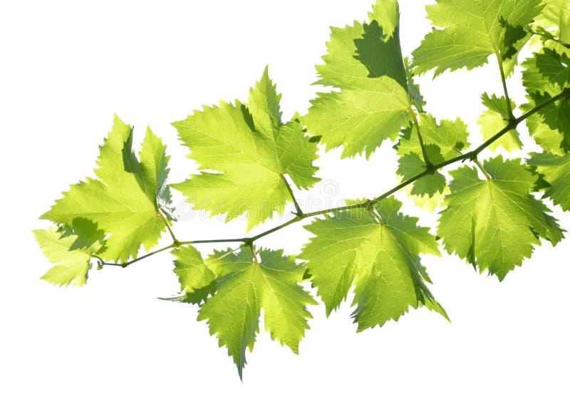 Branchement de la vigne photos stock