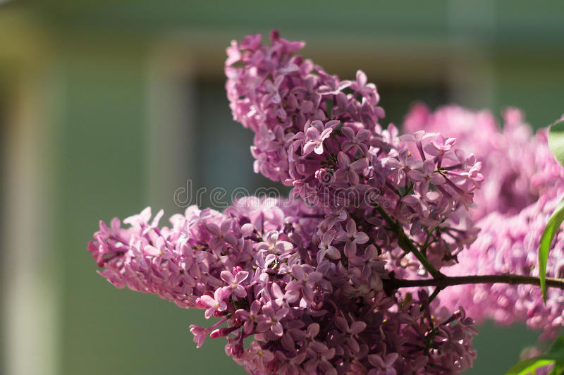 Branchement de lilas photos libres de droits