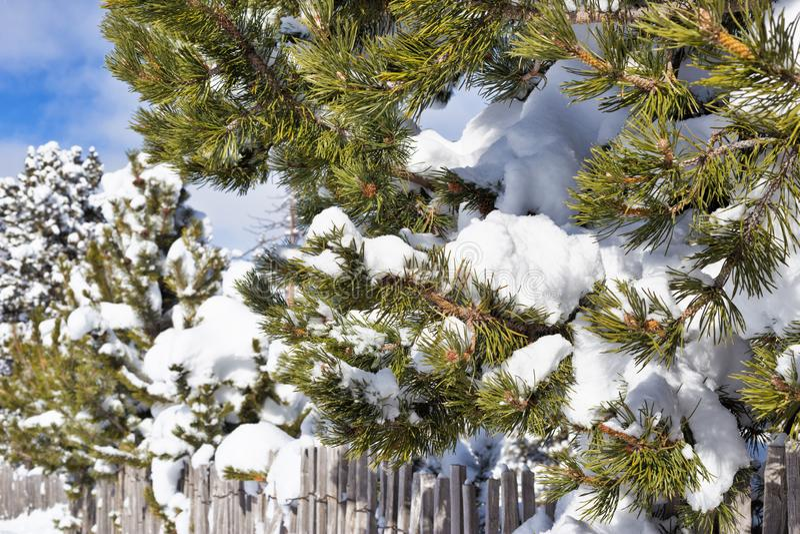 branchement de pin dans la neige photo stock