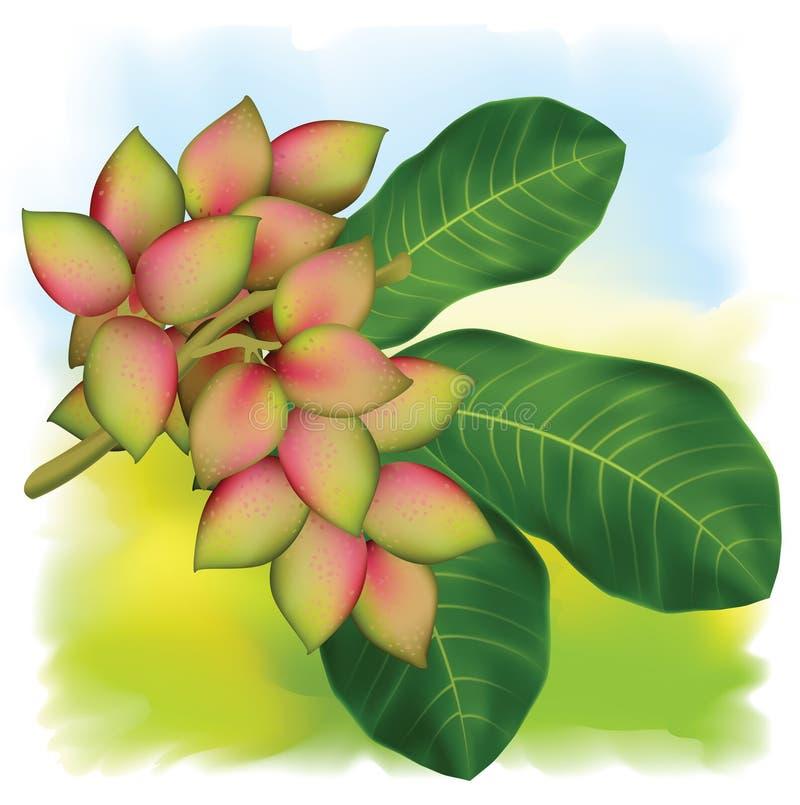 Branchement de pistachier avec des fruits et des lames. illustration libre de droits