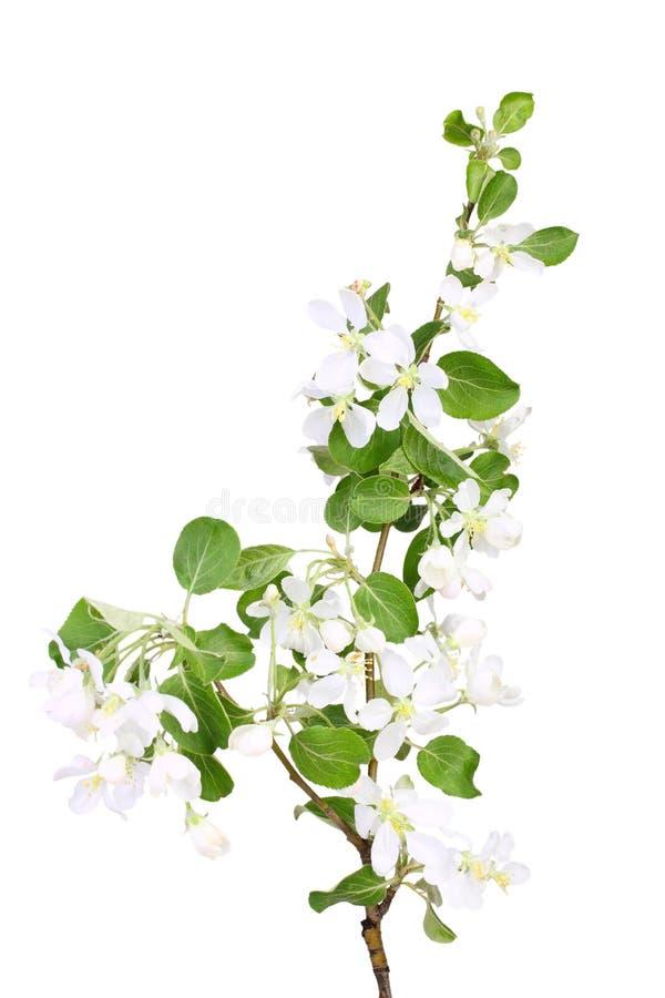 Branchement de pomme-arbre avec la lame et les fleurs vertes photographie stock libre de droits