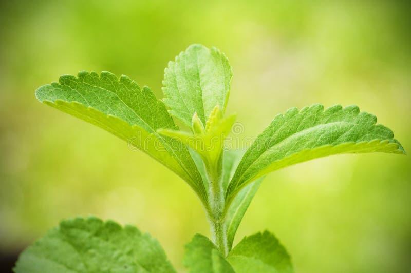 Branchement de rebaudiana de Stevia image libre de droits