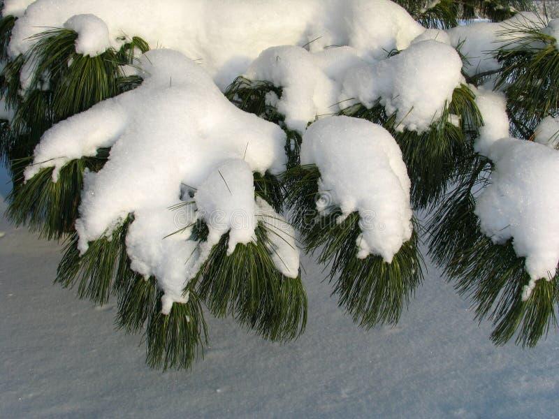 Branchement de sibirica de pinus couvert sous la neige image libre de droits