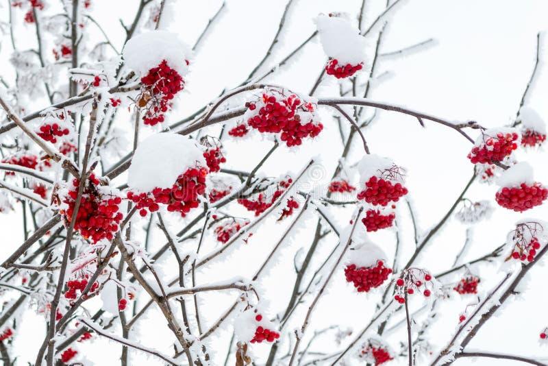 Branchement de sorbe dans la neige photos libres de droits
