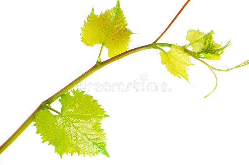 Branchement de vin photo stock