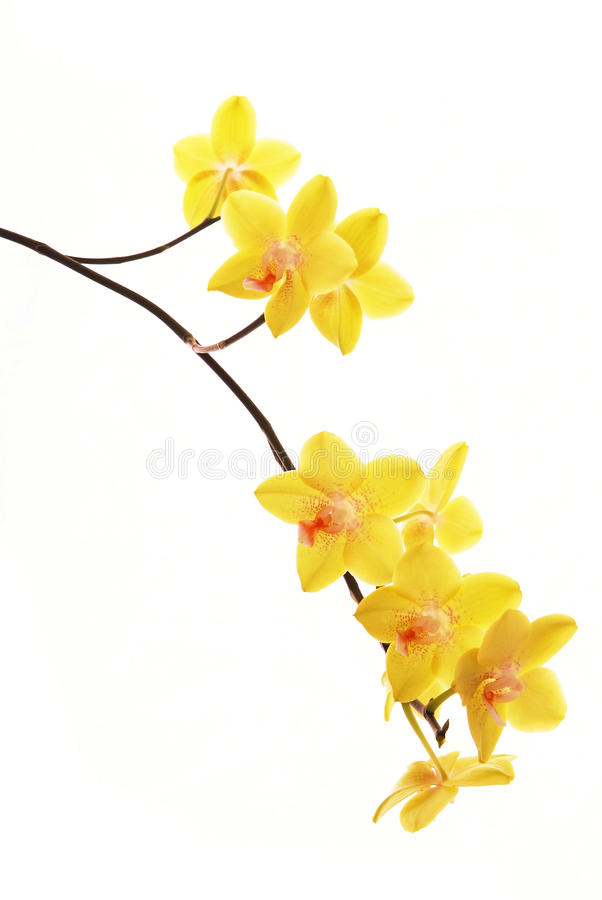 Branchement des orchidées jaunes image stock