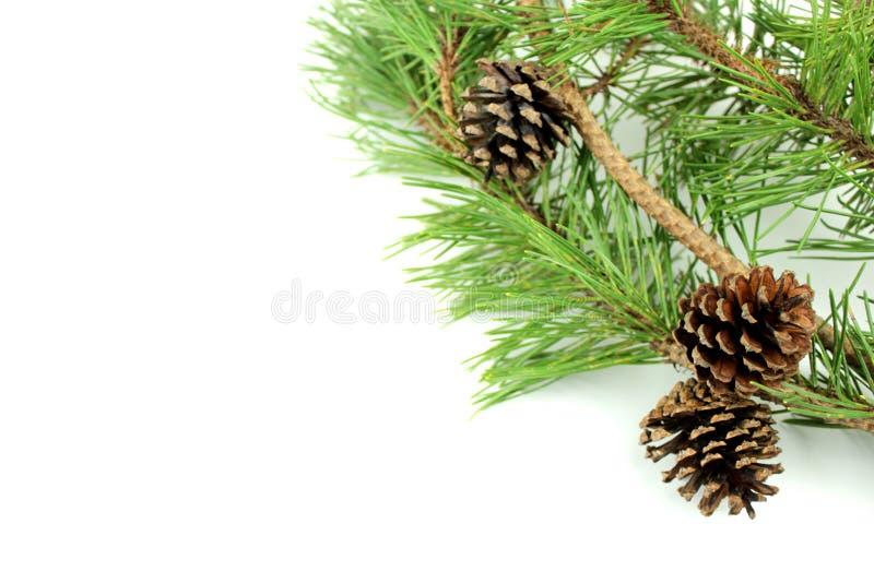 Branchement et cônes de pin photo libre de droits