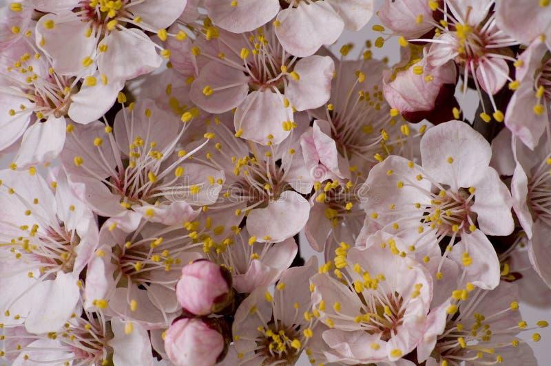 Branchement fleurissant d'abricot photo libre de droits