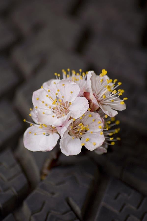 Branchement fleurissant d'abricot photo stock