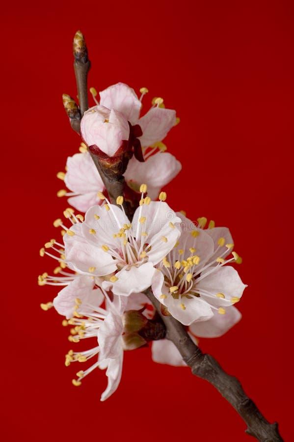 Branchement fleurissant d'abricot photos libres de droits