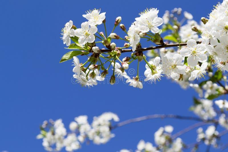 Branchement fleurissant de cerise photo libre de droits