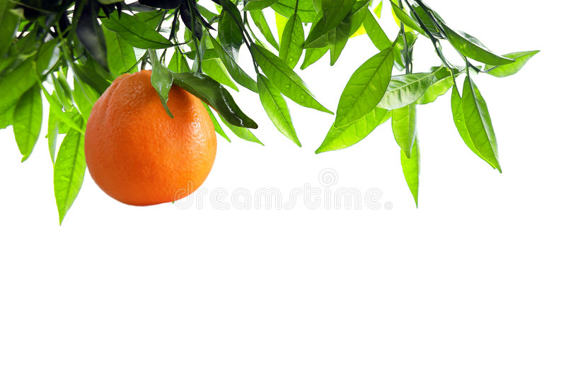 Branchement orange photo stock