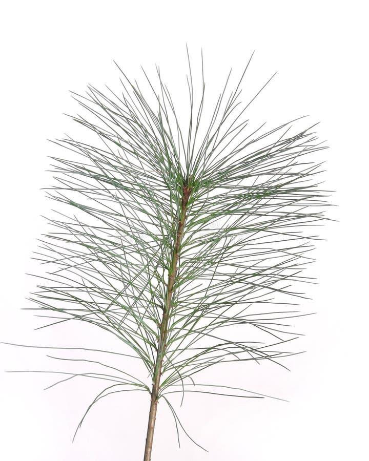 Branchement ou plante d'arbre de pin photos stock