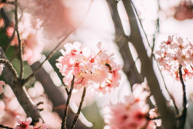 Branchement se développant de cerisier photographie stock